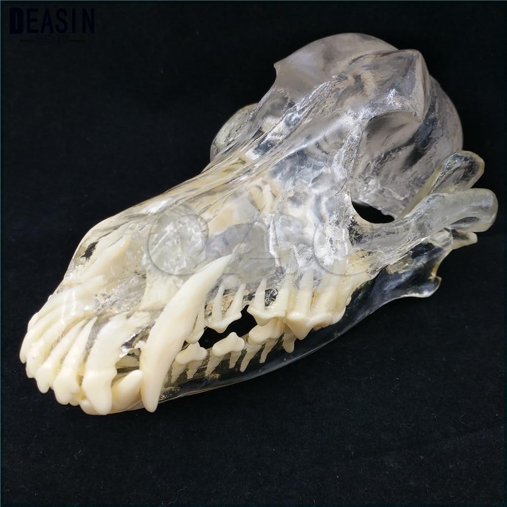 Teaching Veterinary Animal model specimens Dog Dentition Model The dog teeth skull jaw bone transparent solution planing