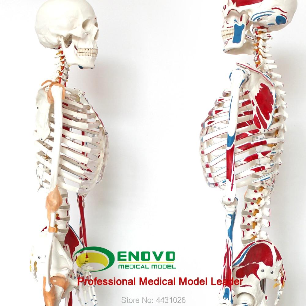 ENOVO Medical 170CM human.skeleton model musculoskeletal specimen anatomy spine Department of orthopedics teaching aids
