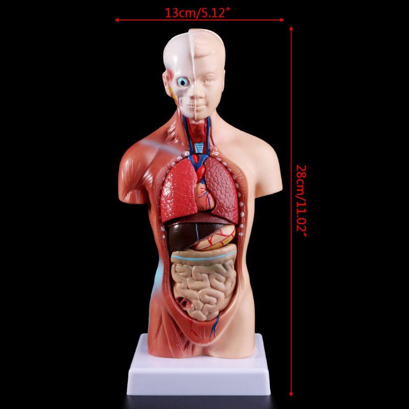 Human Torso Body Model Anatomy Anatomical Medical Internal Organs For Teaching Dropshipping