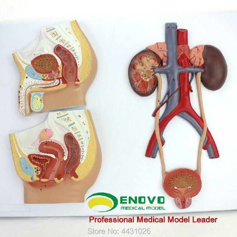 ENOVO A estrutura anatômica modelo de macho e fêmea aparelho geniturinário no sistema reprodutor humano