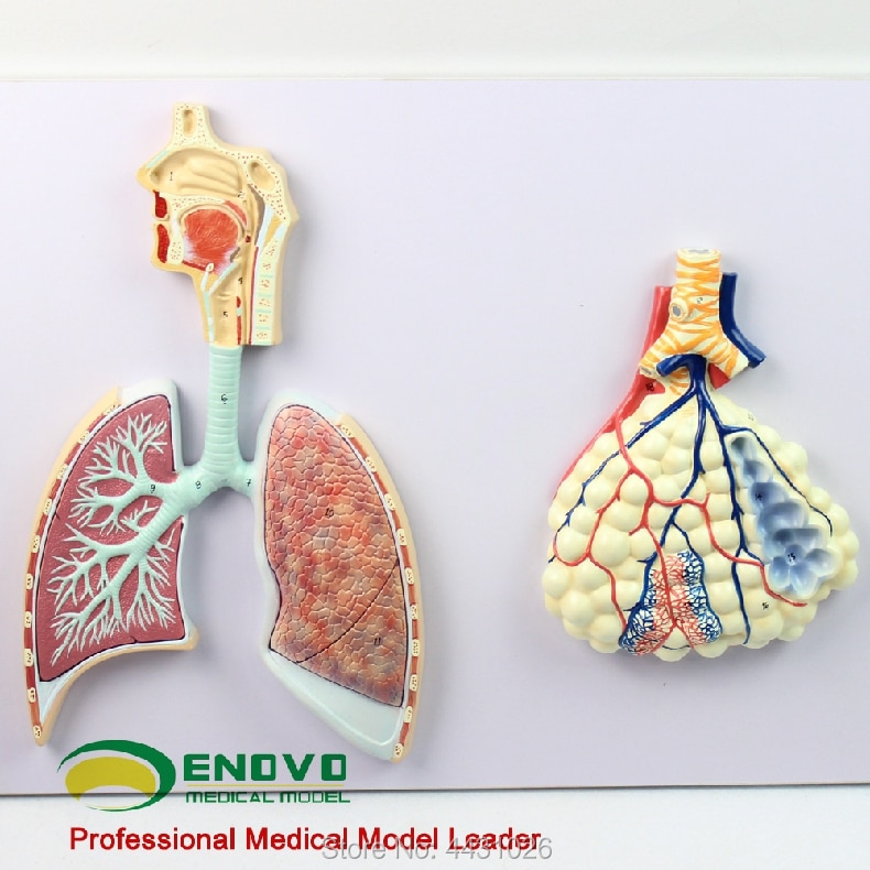 anatomical specimens of the human medical urological system model of the urinary system ENOVO Human respiratory system anatomical model specimen of human lung section of the nasal bronchial lung model