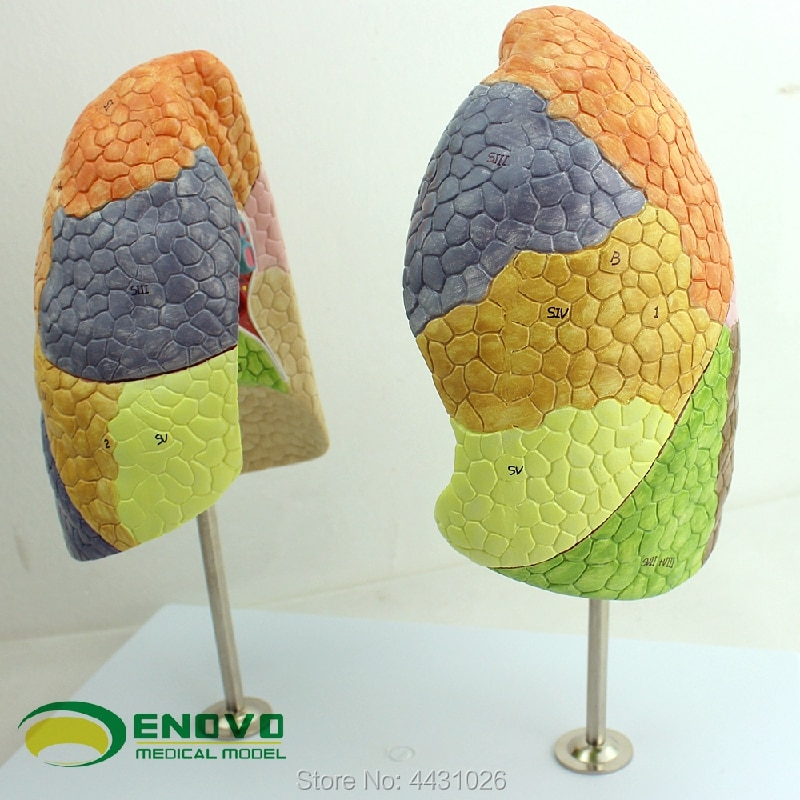 ENOVO The respiratory system model of respiratory system in the lung section of the lung section of the medical human lung secti