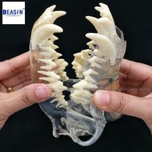 Modèle de Dentition pour chien les dents de chien crâne mâchoire os solution transparente rabotage enseignement modèles danimaux vétérinaires spécimens