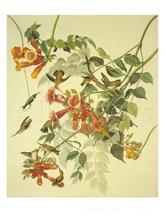 Dipinti john James Audubon Rubino Throated Hummingbird famosi Birds arte Mano di Alta qualità dipinto