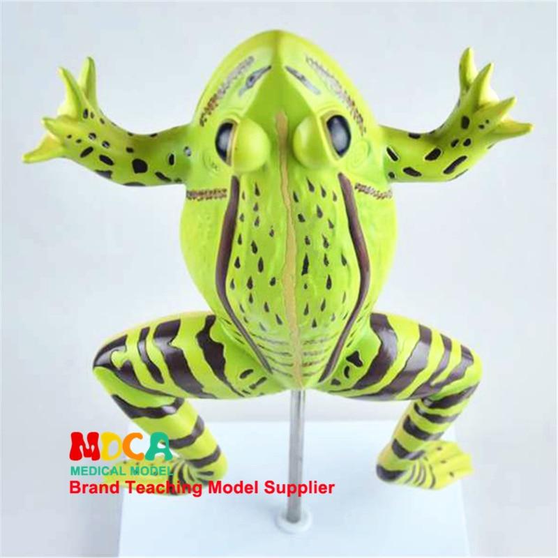 Анатомическая модель лягушки, анатомическая модель, животное, анатомическая медицина, обучение MQWJP001