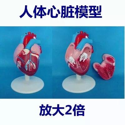2X modelo Anatômico modelo de simulação de circulação venosa Arterial Cardiovascular humano frete grátis