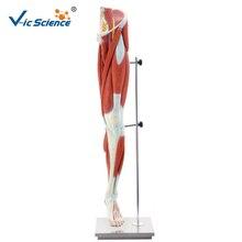 PVC avancée Anatomique Médical Jambe Humaine Muscle Modèle pour Enseigner Aux Élèves