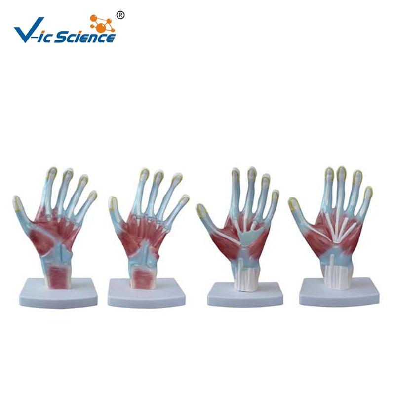 Factory Price Hand Palm Anatomy Model