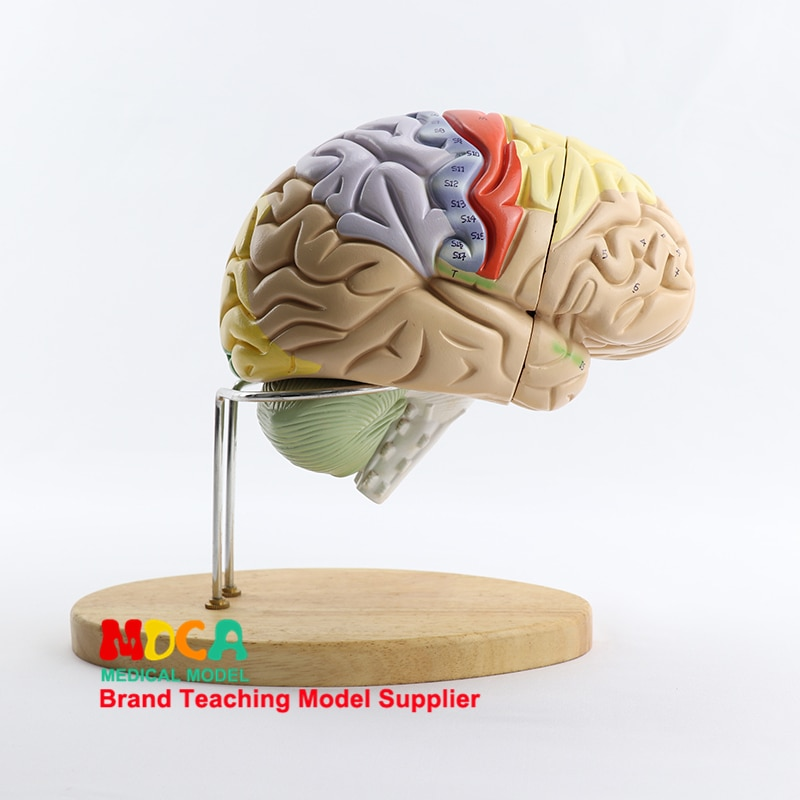 Two-fold Brain Assembly Brain Anatomy Human Brain Model Medical Teaching MDN002 human 1 1 right hemisphere functional area anatomy human brain model medicine teaching mdn006