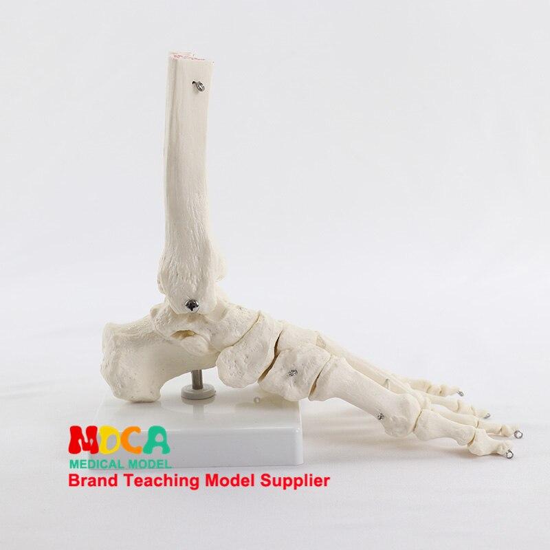 Модель голеностопного сустава, модель кости стопы, медицинское обучение костей человека MJG003
