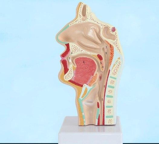 Анатомия головы, анатомический образец полости рта человека и патологии полости рта в горле, модель сосудистого нерва, медицинское обучени...