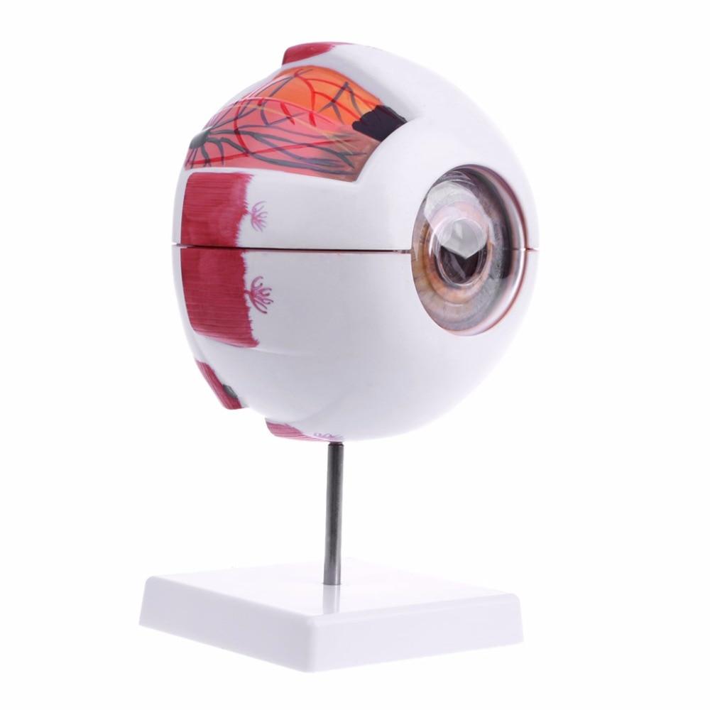 Modelo de globo ocular Natural anatómico humano, ayuda médica de aprendizaje, instrumento de enseñanza