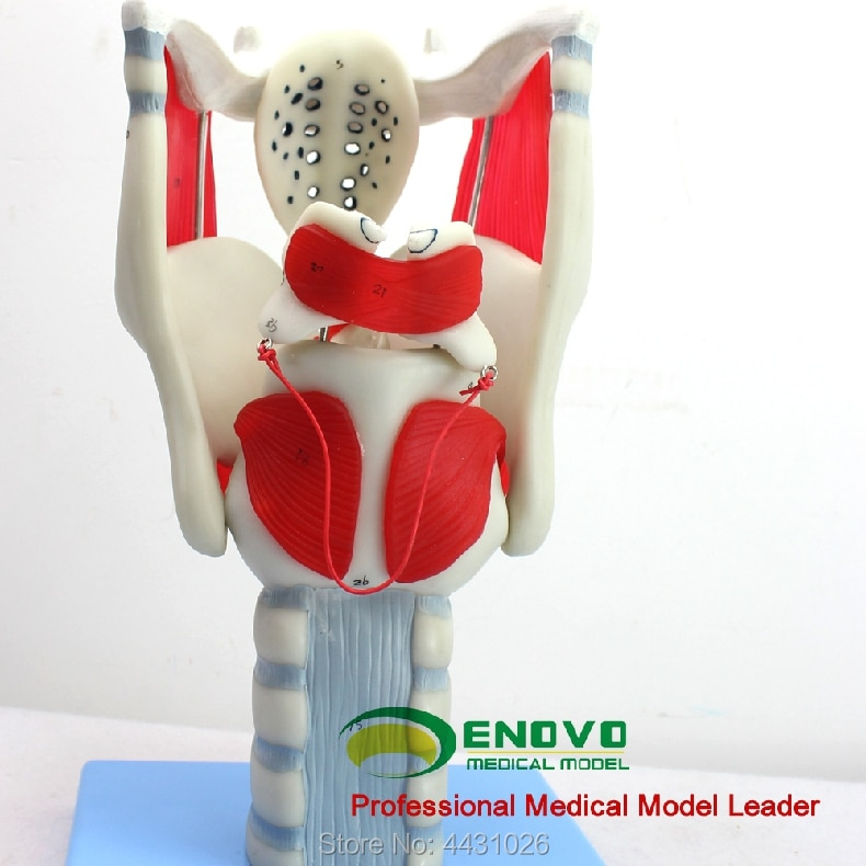 ENOVO Laryngeal structure and function amplification model of otolaryngology