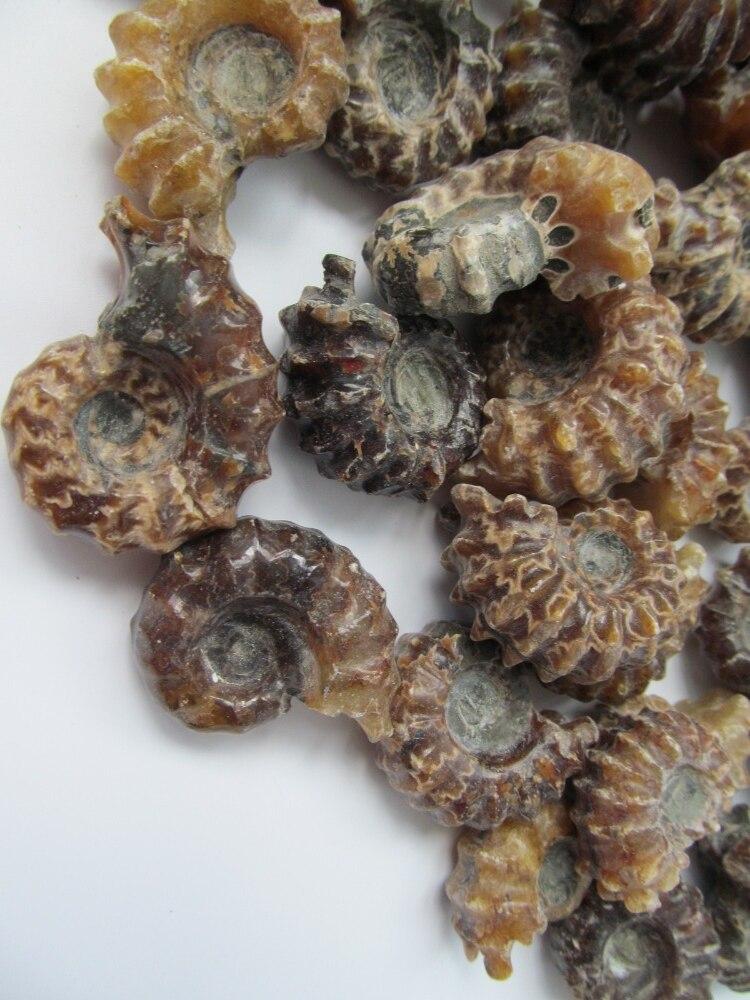 Fósil de amonita 30 --- 50g, Douvilleiceras, de calidad superior, pulido raro