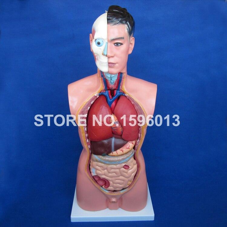 Torso masculino de 85 cm com órgãos internos 19 partes, modelo do torso humano