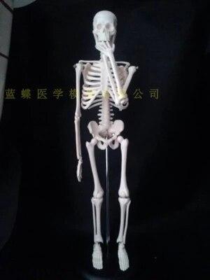 A 45cm model of human model human bones model   PVC material free shopping