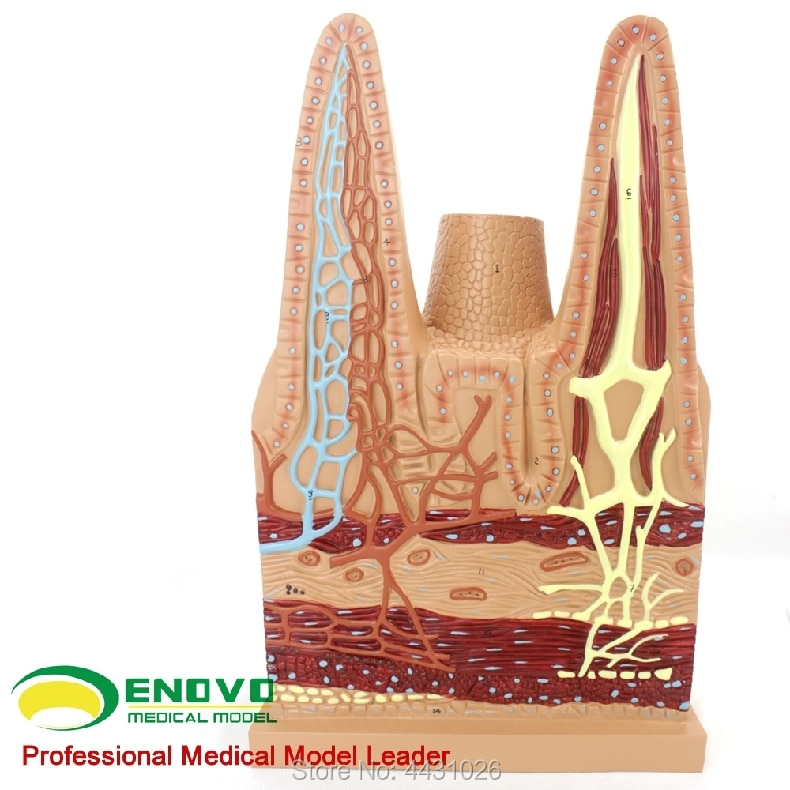 ENOVO The medical biology teaching of the digestive system model for the anatomy of small intestinal villi