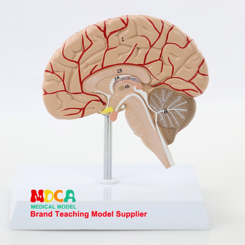 Human 1:1 Right Hemispheric Artery Anatomy Human Brain Model Medicine Teaching MDN007 human 1 1 right hemisphere functional area anatomy human brain model medicine teaching mdn006