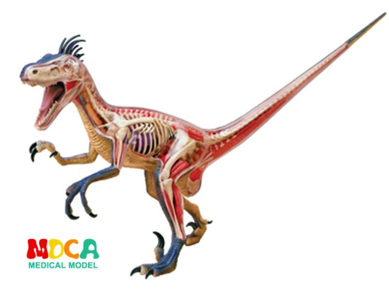 Big Velociraptor 4d master puzzle Assembling toy Animal Biology Dinosaur organ anatomical model medical teaching model