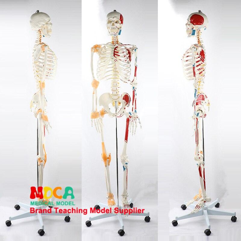 170 cm esqueleto humano modelo neuromuscular começando e parando ligamento colorido esqueleto yoga ensino médico mgg301