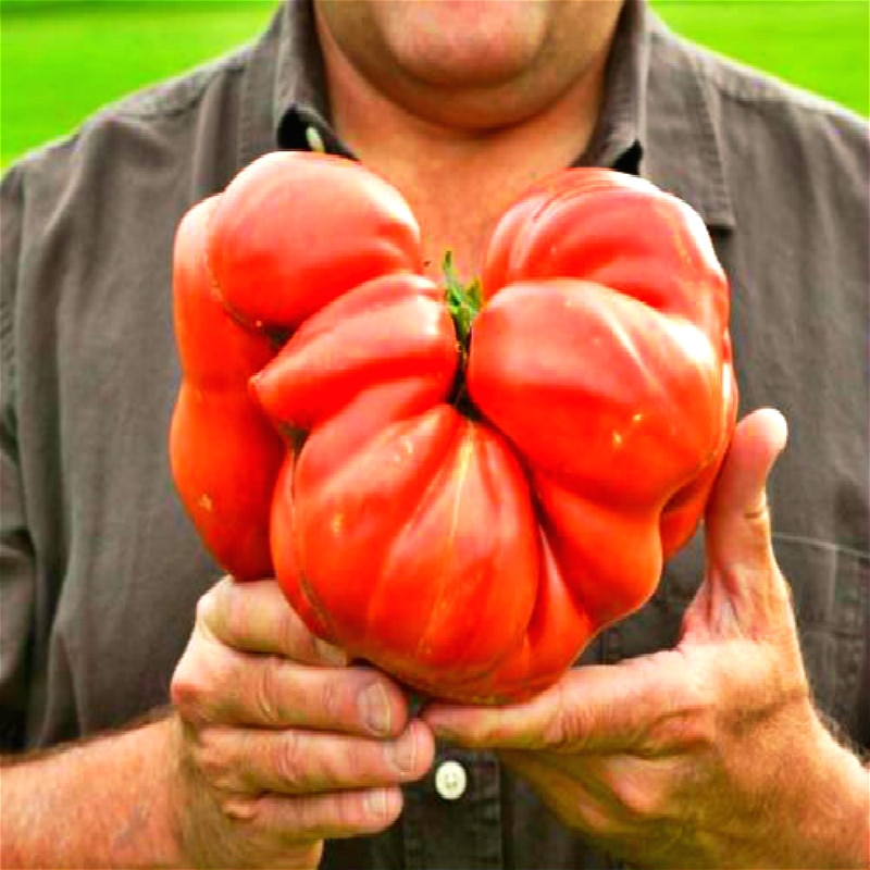 100 Nutritious Tomato Seeds Huge Rich Flavor Easy Growing The World's Largest Beefsteak Vegetable Se