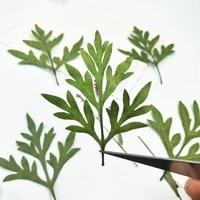 100pcs pressed dried green cosmos sulphureus cav leaf plants herbarium for jewelry postcard phone case photo invitation card diy