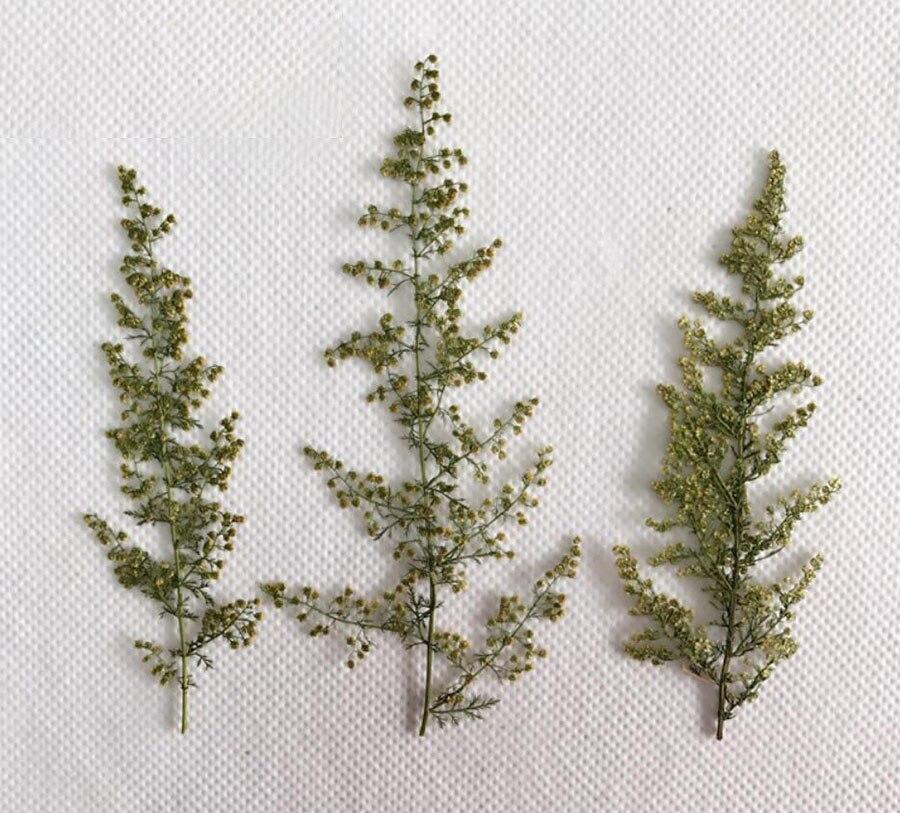 120 Uds prensado y secado Artemisia Semilla de Scoparia flor herbario de plantas para tarjeta postal de joyas tarjeta de invitación teléfono caso marcapáginas DIY