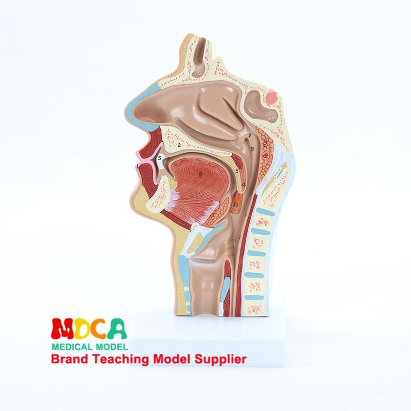 Модель анатомии нормальной головы, медицинская модель для орального, сосудистого нерва, носовой полости, горла, медицинская обучающая моде...