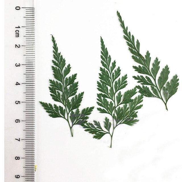 30 piezas de tinte de Color verde estenoma chusana/hojas de helecho flores secas prensa Flores Envío Gratis