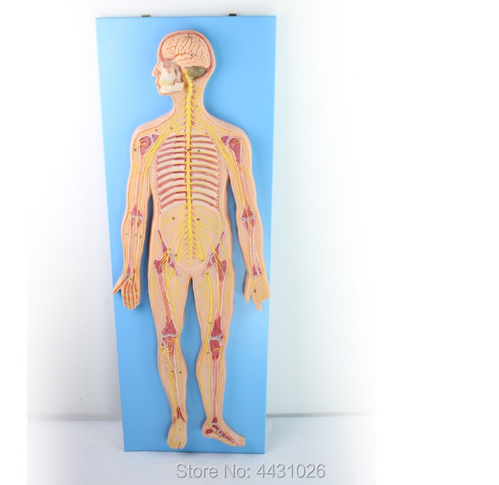 ENOVO Anatomy of the central nervous system of the nervous system