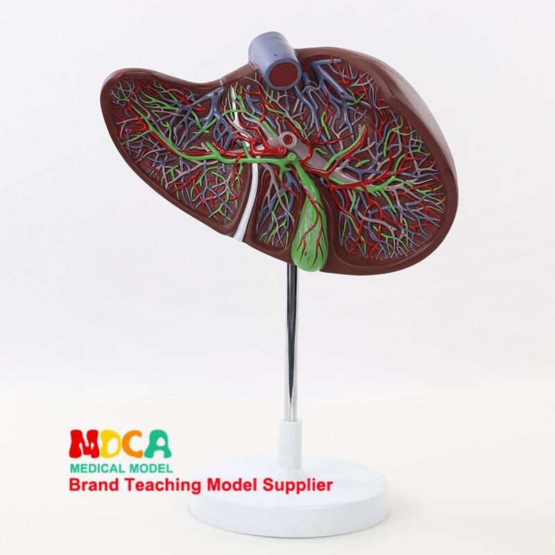 MGZ002: обучение гепатобилиарной пищеварительной медицине у человека, в 1,5 раза модель печени с сосудистой моделью печени и желчного пузыря