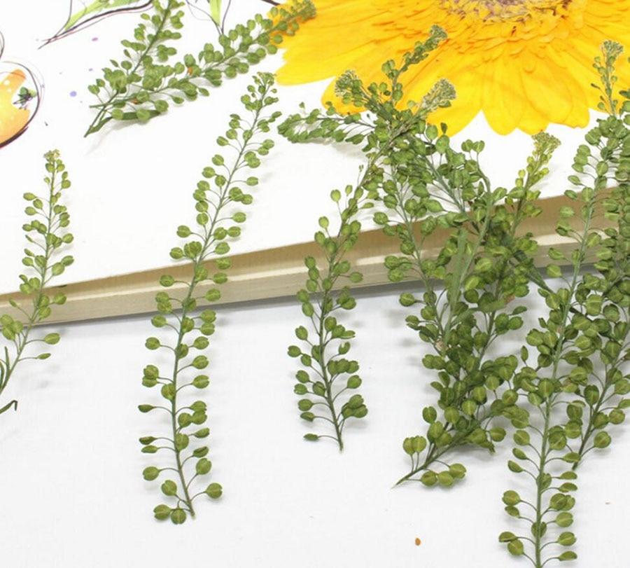 120 pcs Secas Prensadas Lepidium Apetalum Herbário Da Folha Da Planta Para A Caixa do Telefone de Jóias Favorito Scrapbook Fazer o Cartão Do Convite