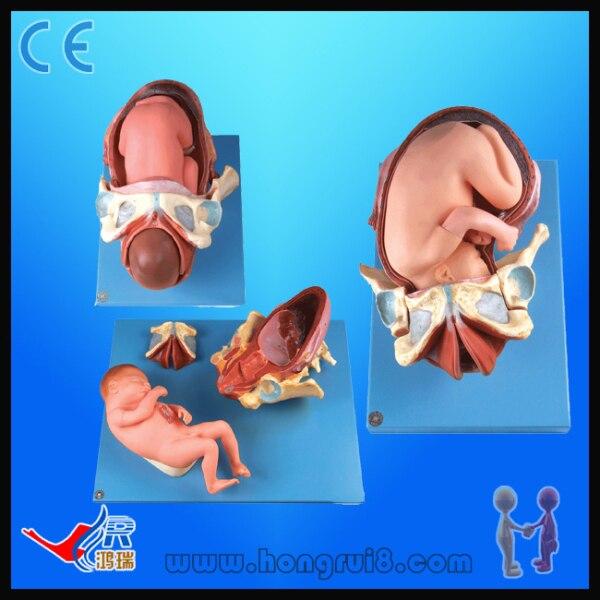 Modelo de demostración del parto, modelo de Anatomía Humana