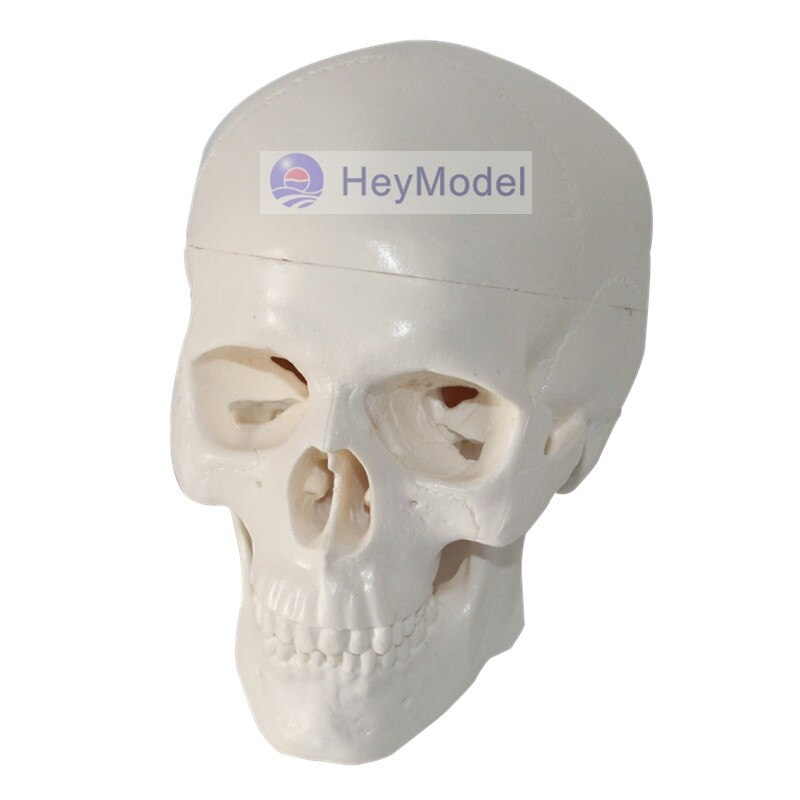 HeyModel Artificial Mini Crânio