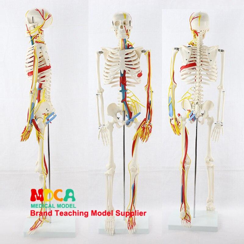 Медицинская модель скелета человека 85 см, маленькая модель скелета человека, модель скелета человека MGG206
