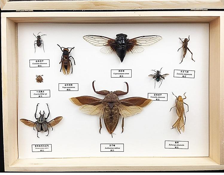 Образцы насекомых брони единорогов саранчи Жуков научное учебное
