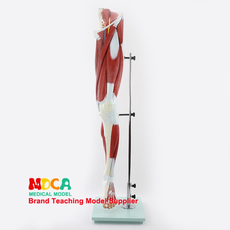 MJRJ005 Teaching of Leg Muscle Anatomy Model Medicine for Lower Limb Muscle Vascular Nerve Model
