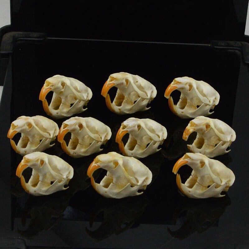 1 pces, 5 pces, 10 pces ondatra zibethicus muskrat crânio osso real esqueleto biologia taxidermia