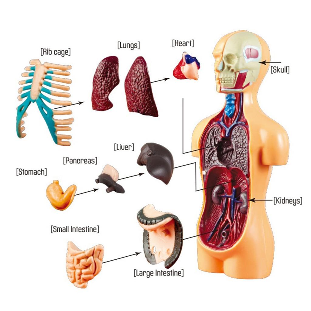 Human Body Torso Model Human Anatomy Display Assembly Learning Internal Organs Skeleton Visceral Brain Anatomical Teaching