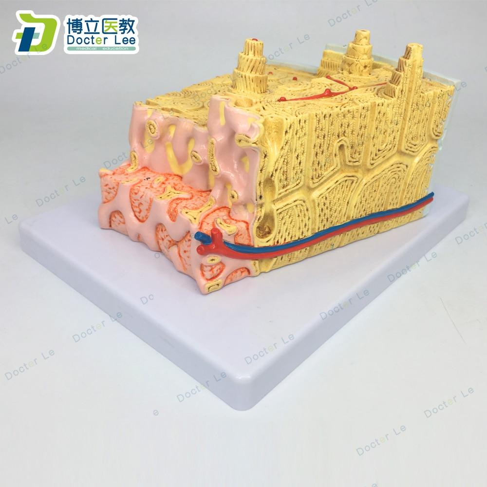 Modelo gris de estructura ósea anatómica, modelo Anatomia educativa agrandada 80 veces...