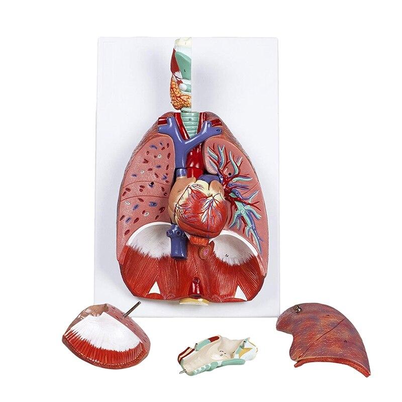 Anatómico humano, anatomía, sistema respiratorio, modelo médico, garganta, Corazón, Pulmón, pulmón con laringe, enseñanza médica, modelos anatómicos