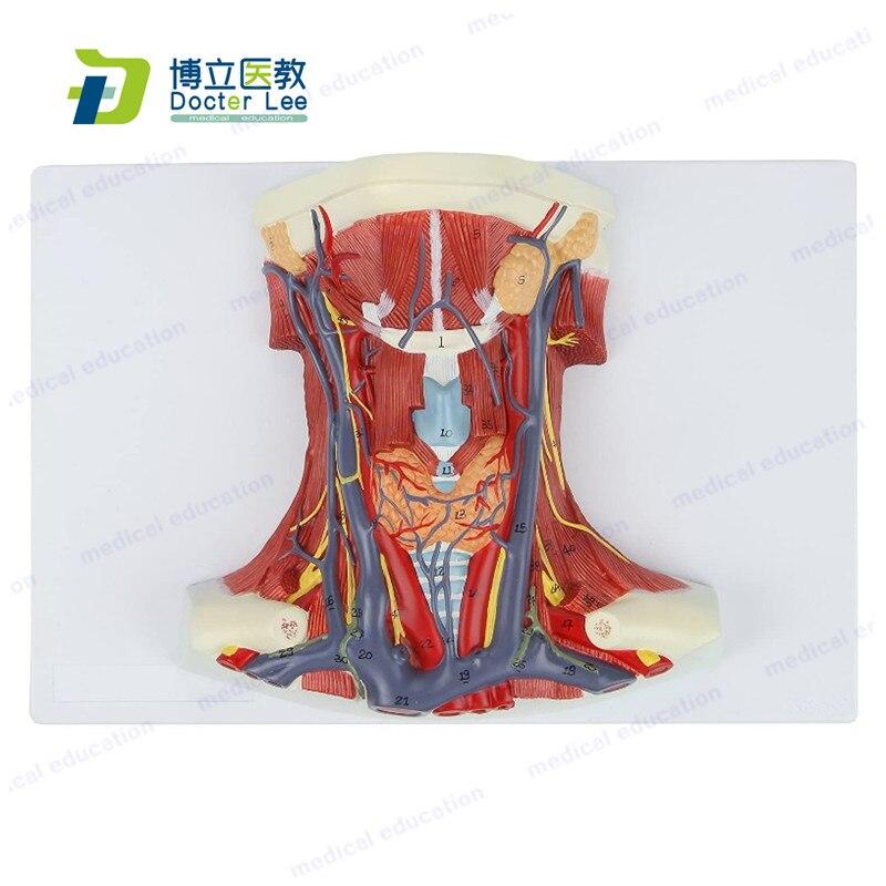 Модель анатомии шеи и горла человека, обзор горла, показывающий артерии, вены, мышцы и кости для медицинского обучения