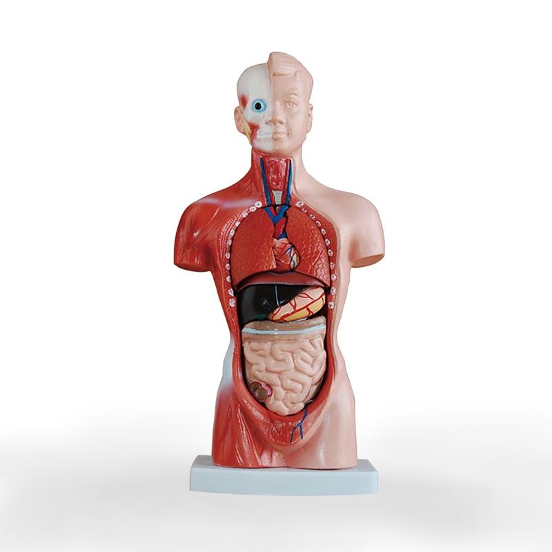 26cm Human Torso model Structure model of visceral organs Internal Organ Distribution Model