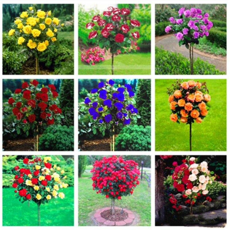 armario-de-bano-para-jardin-50-uds-semillas-de-arboles-de-rosa-aromaticos-colorido-perenne-flor-de-rosa-muebles-para-el-hogar-pq0-v