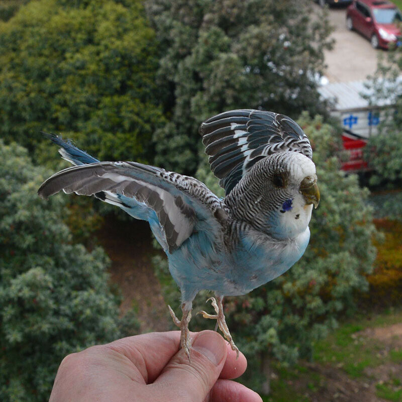 Taxidermy stuffing Eurasian Blue colour Melopsittacus undulatus / Budgerigar Budgie Parrot specimen Teaching / Decoration