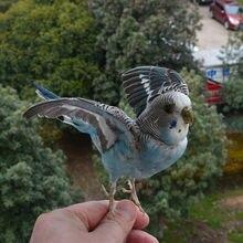 Farce de taxidermie couleur bleu eurasien Melopsittacus undulatus/perroquet de perruche perruche spécimen enseignement/décoration