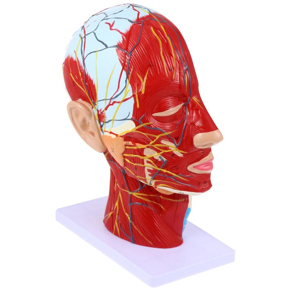 1Pc Head Mid-Sagittal Section Model Anatomy Model Brain Structure Model