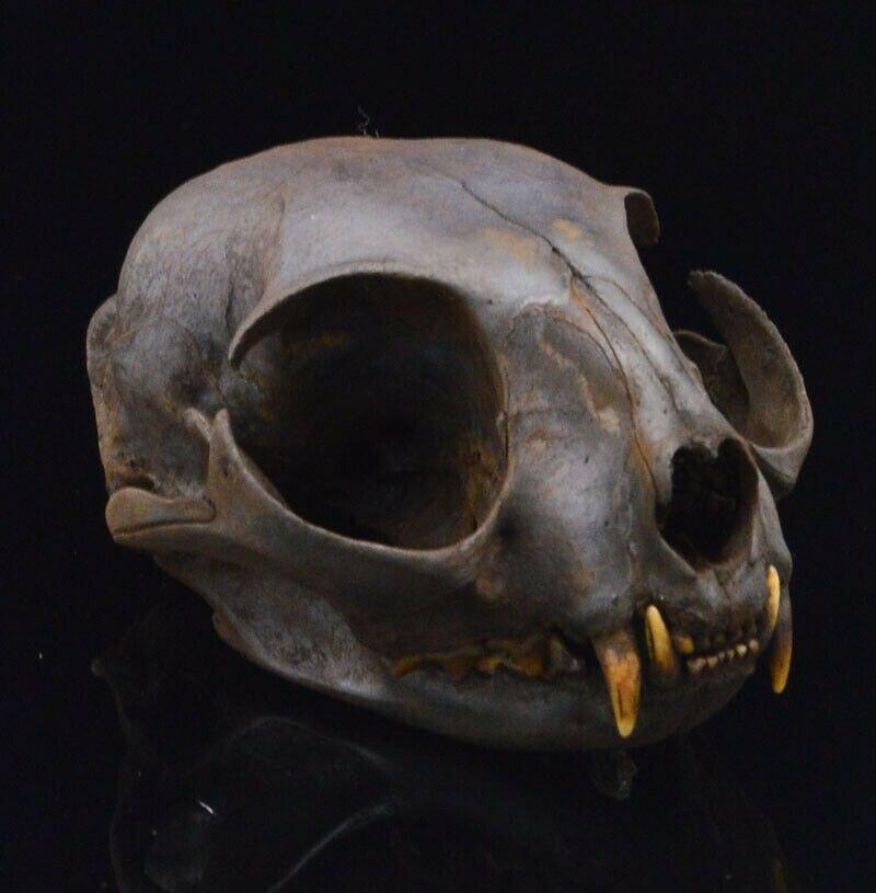 Feito à Mão Pces Real Animal Crânio Espécime-adulto – Tingimento Marrom 1