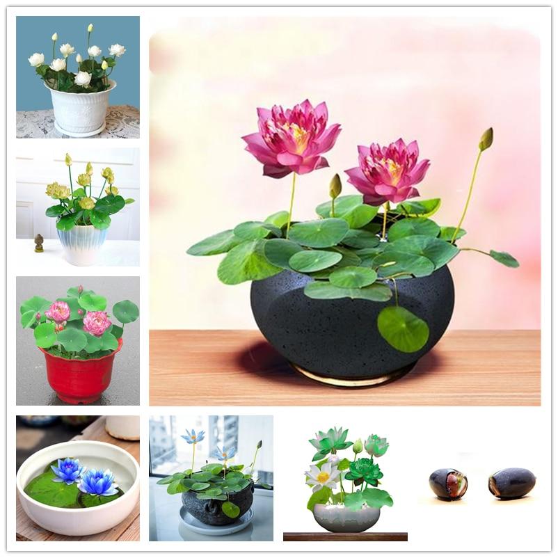 mini-bol-de-semillas-de-loto-para-el-hogar-3-uds-plantas-naturales-verduras-frutas-agua-flor-de-lirio-armario-de-bano-de-madera