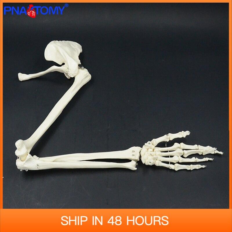 Универсальный размер, модель кости верхней конечности, ручная лопатка, ключица, гибкий скелет, медицинский обучающий инструмент, искусстве...
